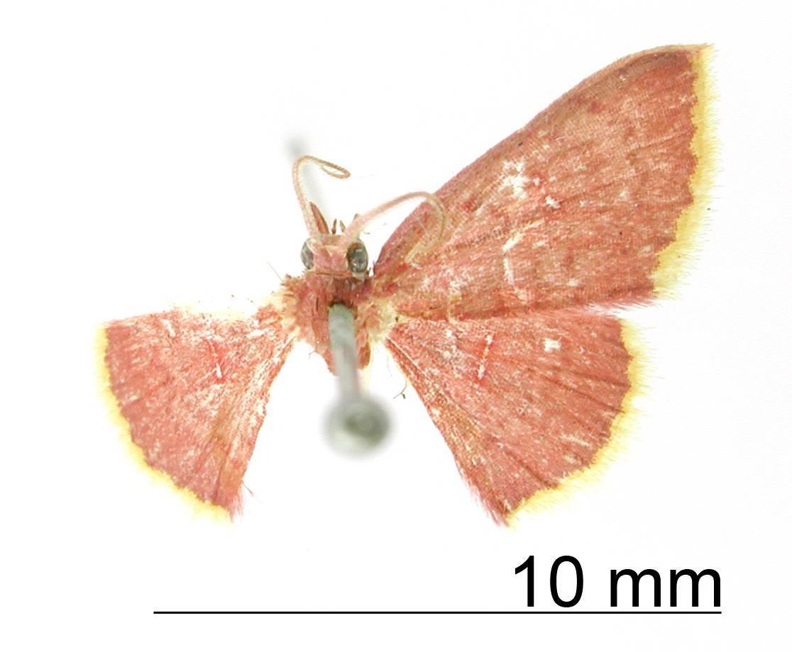 Image of <i>Tricentra aurilimbata</i> Warren 1906