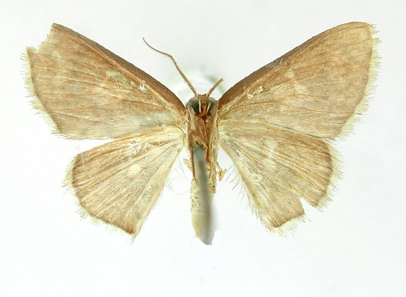 Image of <i>Tricentra biguttata</i> Warren 1906