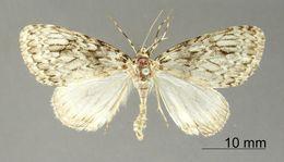 Image of <i>Graphidipus fumilinea</i> Warren 1908
