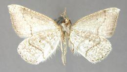 Image of <i>Zanclopteryx conspersa</i> Warren 1908