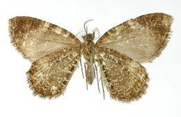 Image of <i>Callipia costinotata</i> Warren