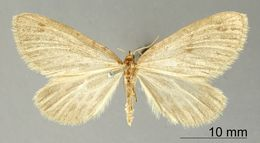 Image of <i>Marmopteryx eludens</i> Warren