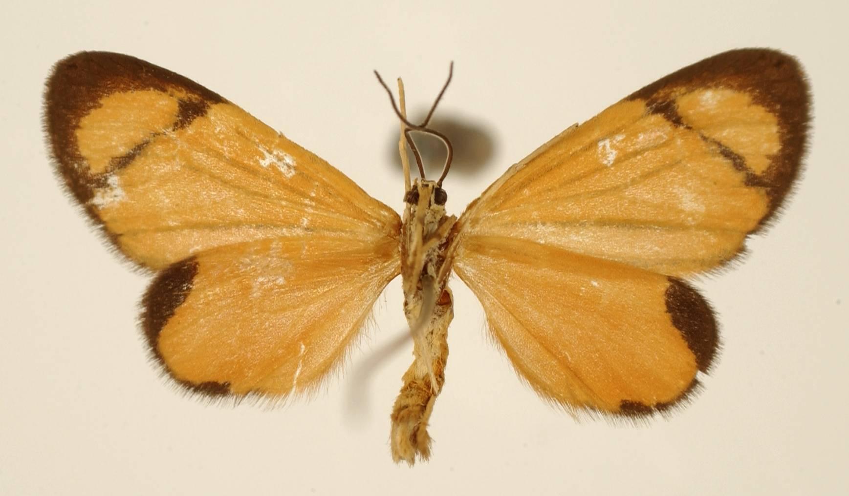 Image of <i>Eudule venata</i> Schaus 1892