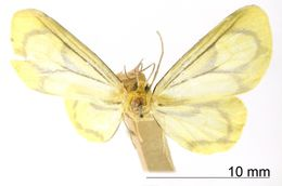 Image of <i>Eudule aurata</i> Schaus