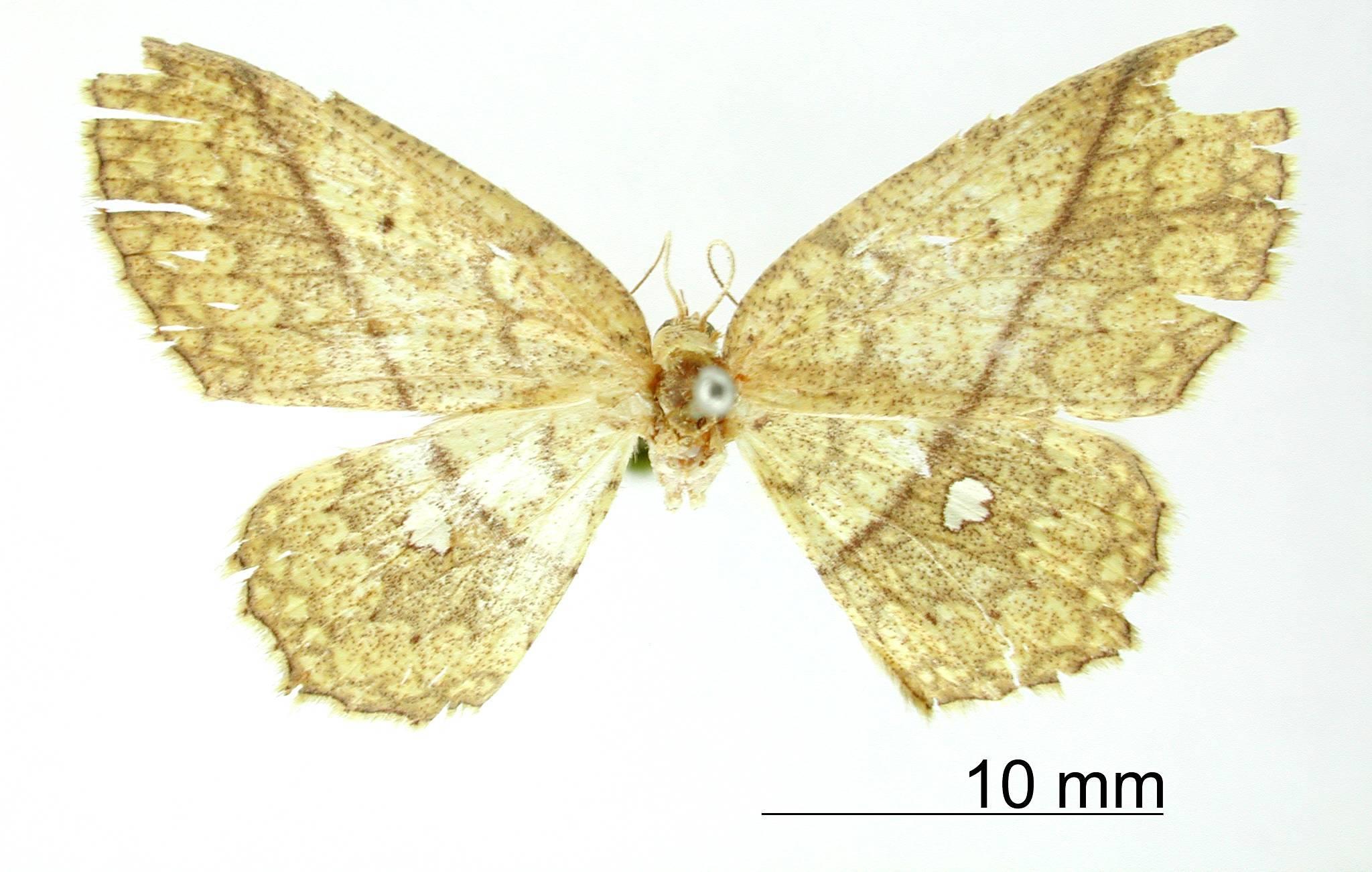 Image of <i>Anisodes castraria</i> Schaus 1901