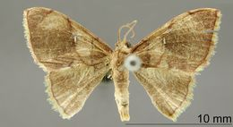 Image of <i>Lipomelia nubilata</i> Schaus
