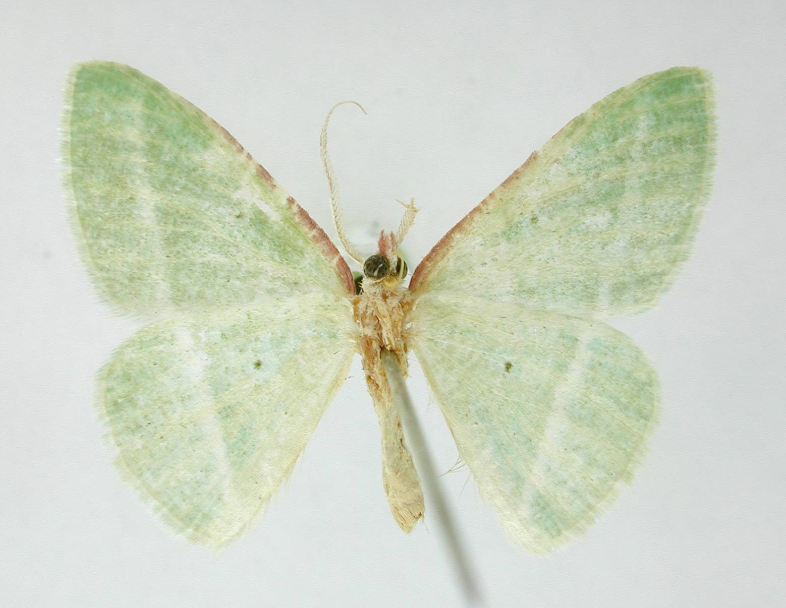 Image of <i>Dichorda aplagaria</i> Dyar
