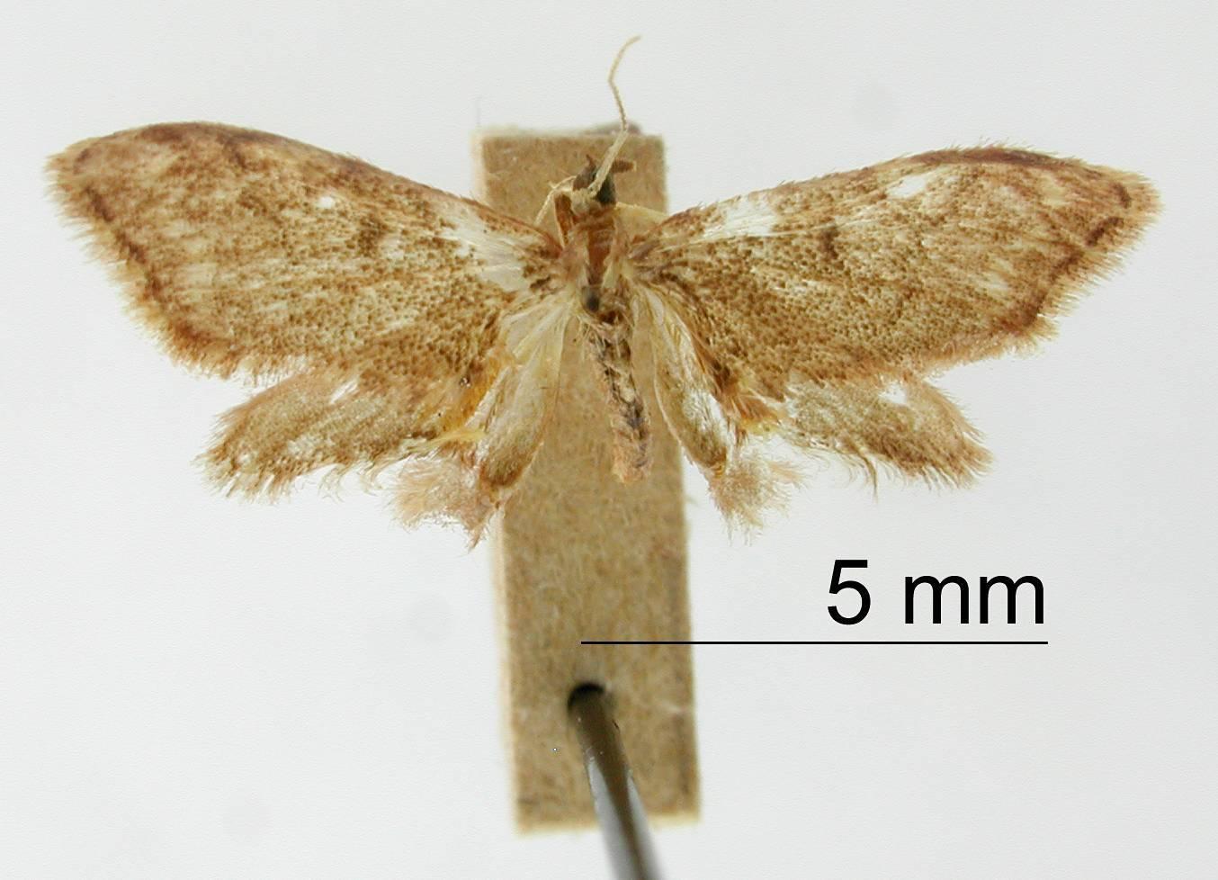 Image of <i>Goniacidalia balmata</i> Dyar 1914
