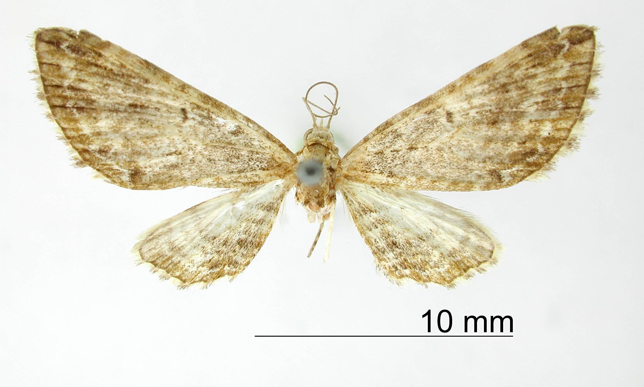 Image of <i>Eupithecia broteas</i> Schaus 1913