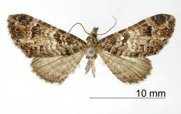 Image of <i>Eupithecia contexta</i> Schaus 1913