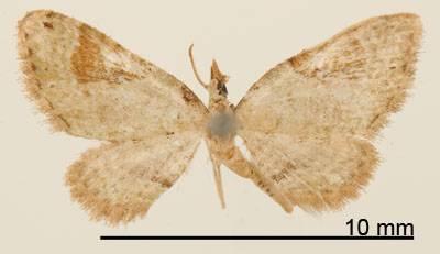 Image of <i>Eupithecia nemoralis</i> Schaus 1913