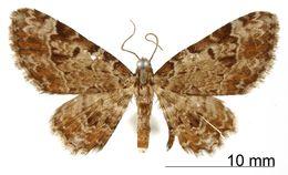 Image of <i>Eupithecia superans</i> Schaus