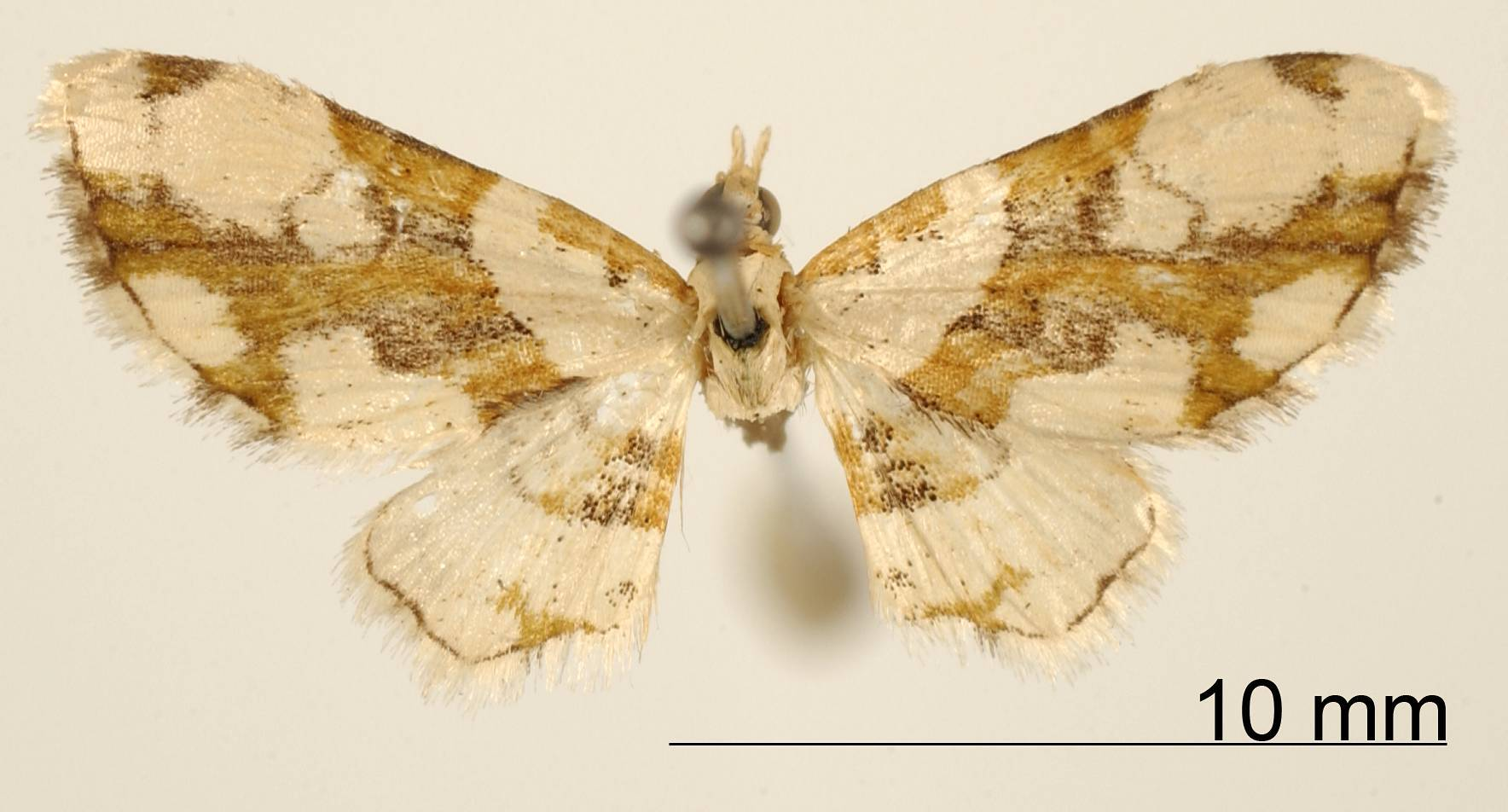 Image of <i>Eupithecia venusta</i> Schaus 1913