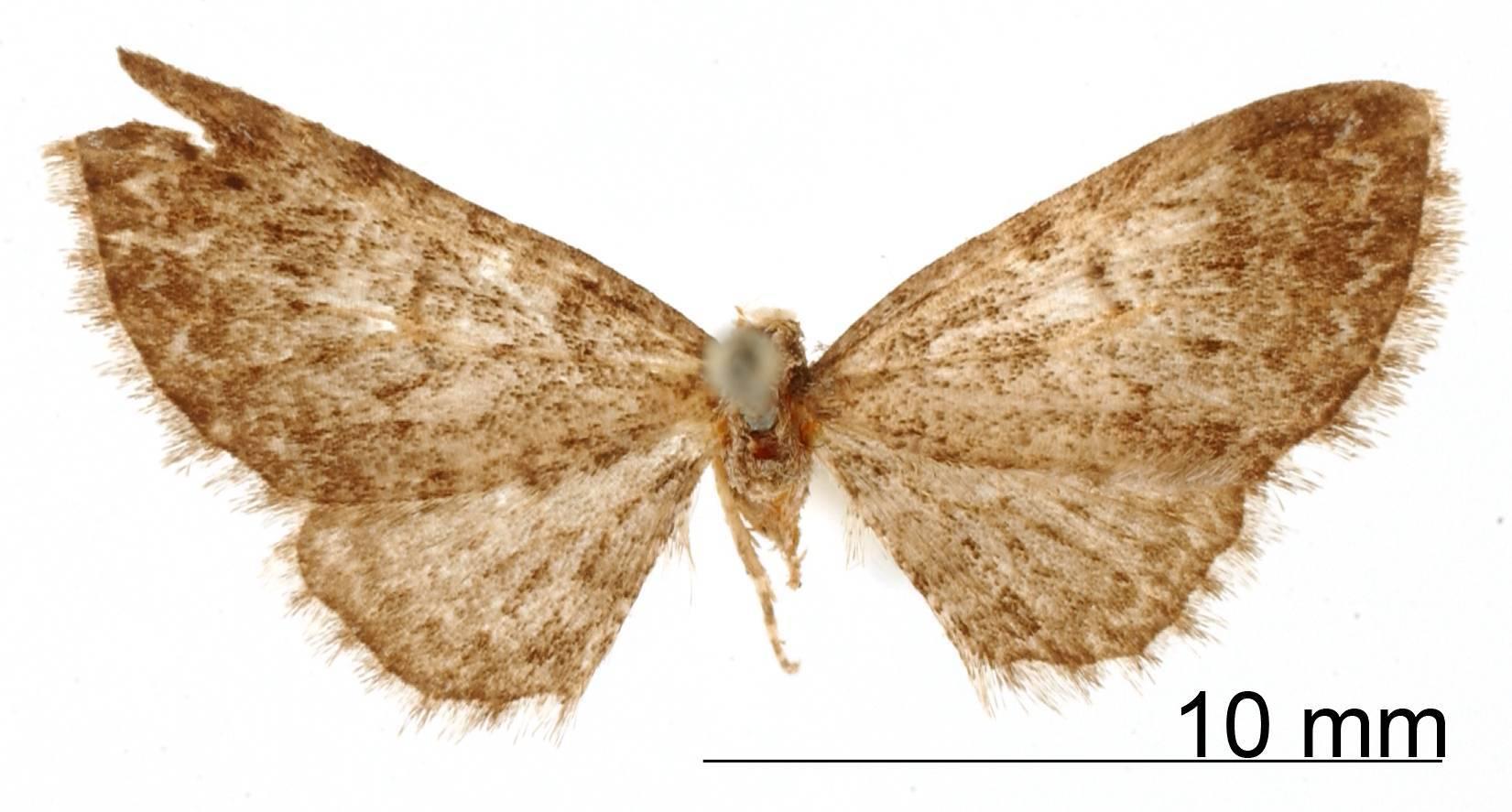 Image of <i>Eupithecia vilis</i> Schaus 1913