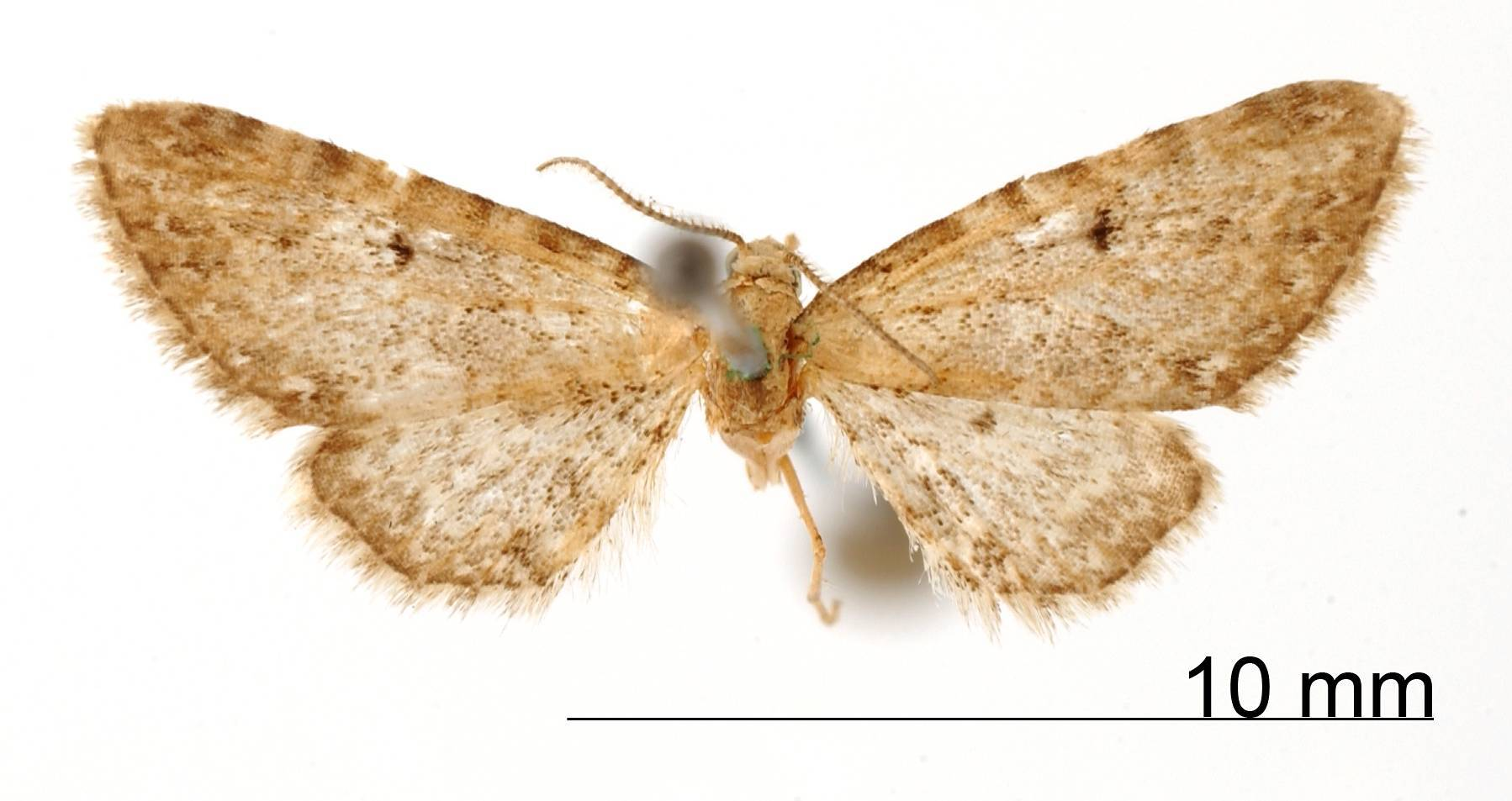 Image of <i>Eupithecia vitans</i> Schaus 1913