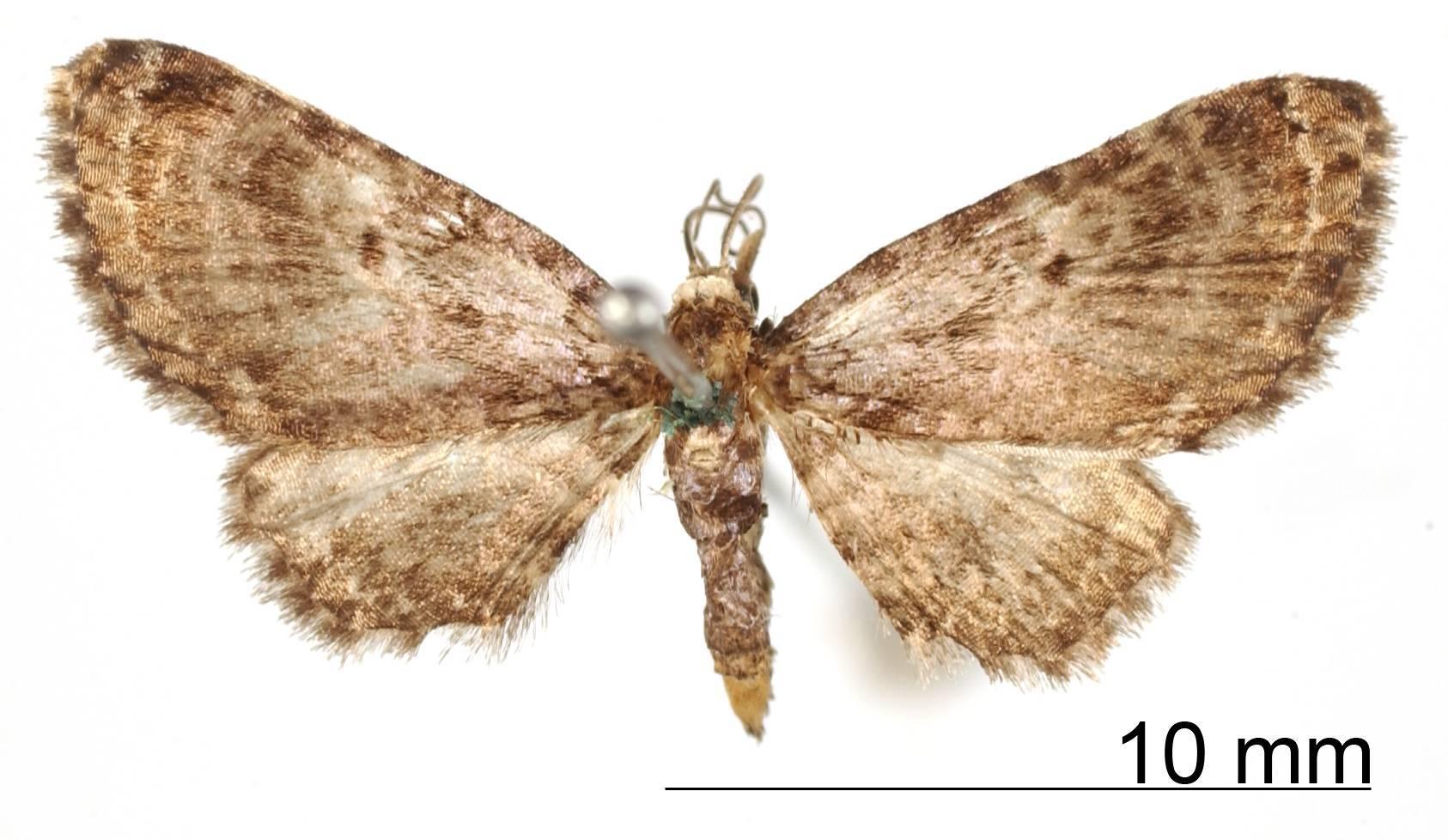 Image of <i>Eupithecia tenebricosa</i> Schaus 1913