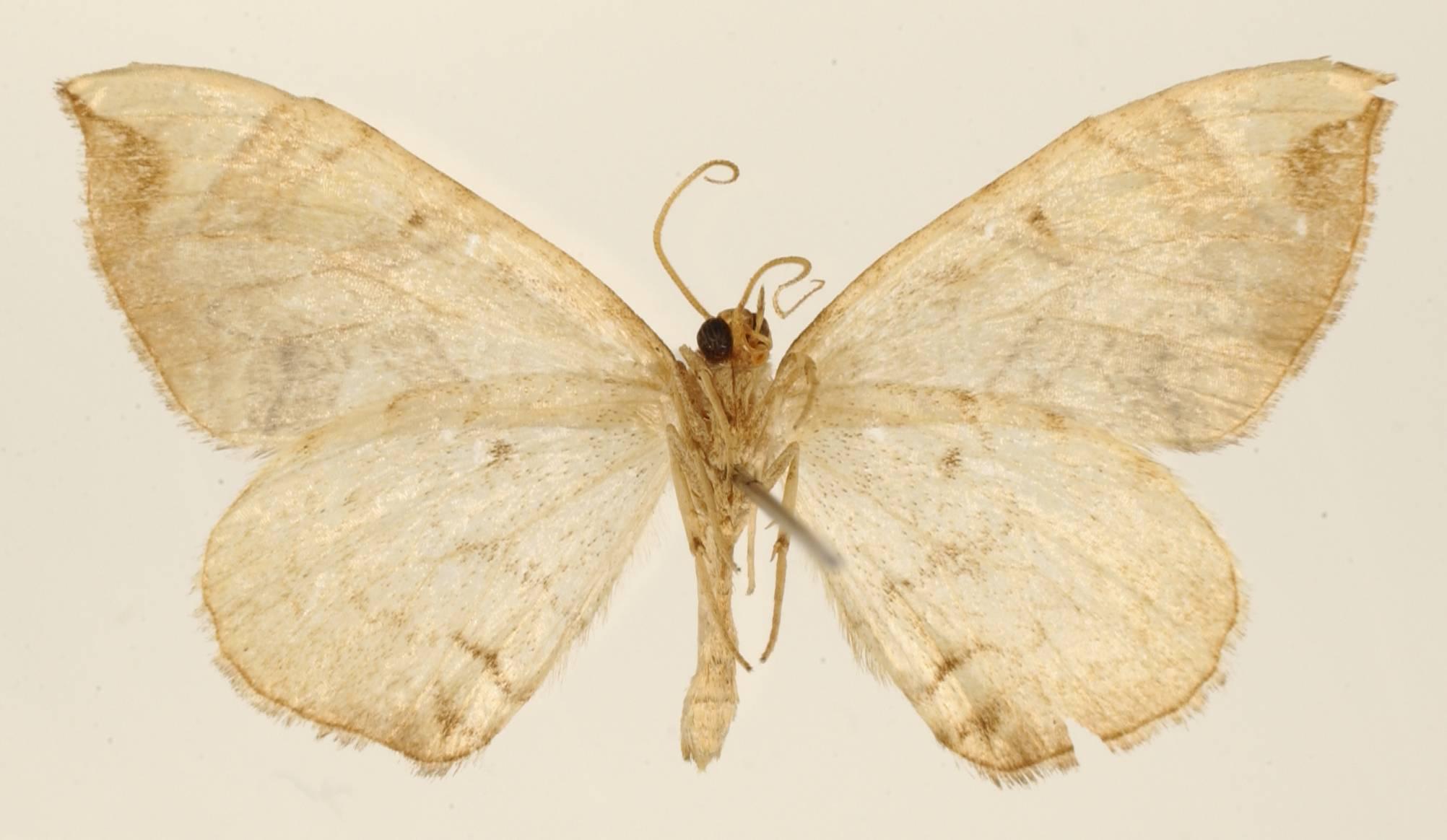 Image of <i>Eustroma phylaca</i> Dyar