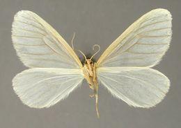 Image of <i>Eudule eulathes</i> Dyar
