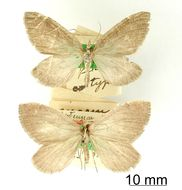 Image of <i>Marmopteryx elongata</i> Thierry-Mieg
