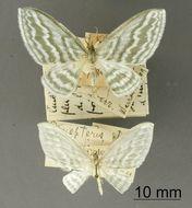 Image of <i>Dyspteris insignis</i> Dognin 1912