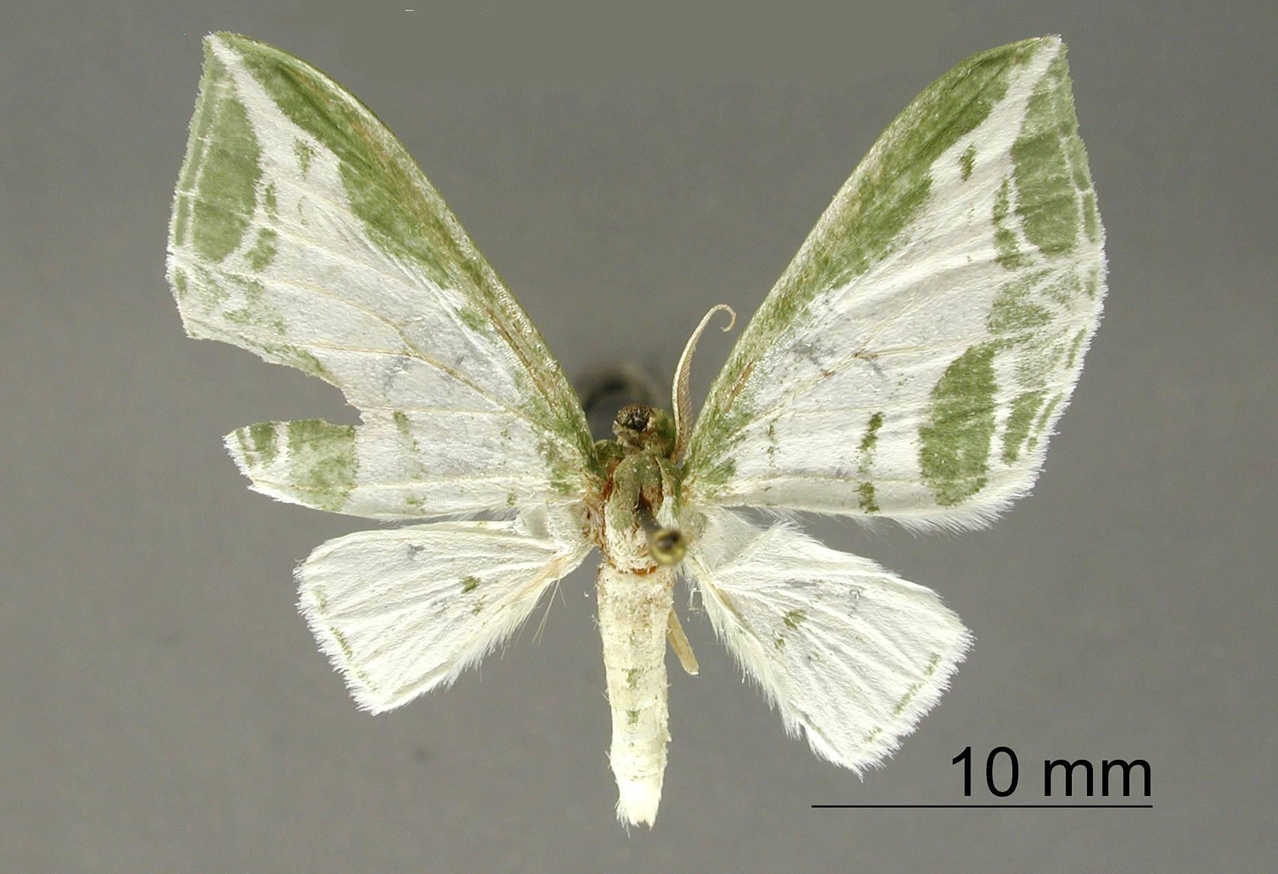 Image of <i>Dyspteris formosa</i> Dognin 1923