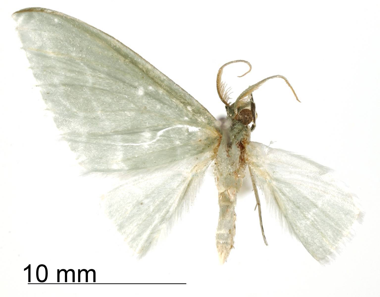 Image of <i>Dyspteris subvariata</i> Dognin 1923