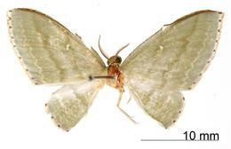 Image of <i>Dyspteris viridilineata</i> Dognin 1917