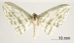 Image of <i>Dyspteris tenuivitta</i> Dognin 1908