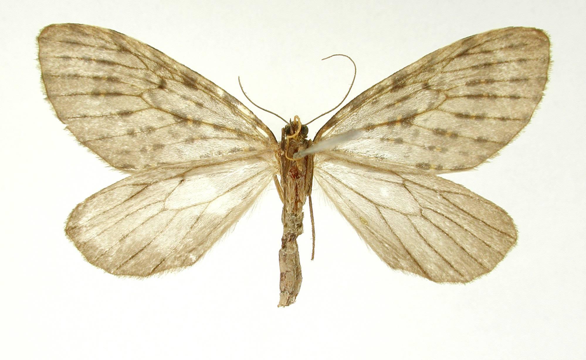 Image of <i>Graphidipus flavifilata</i> Dognin 1906
