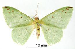 Image of <i>Rhodochlora erina</i> ssp. <i>bipunctata</i> Dognin