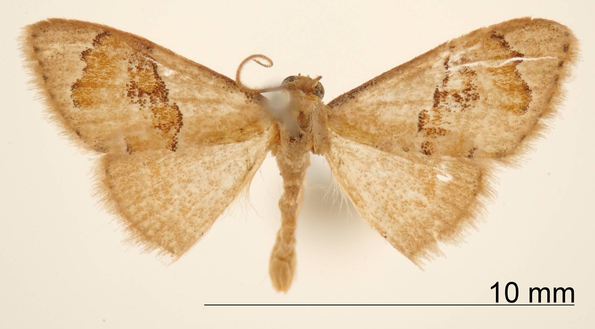 Image of <i>Lipomelia semisignata</i> Dognin