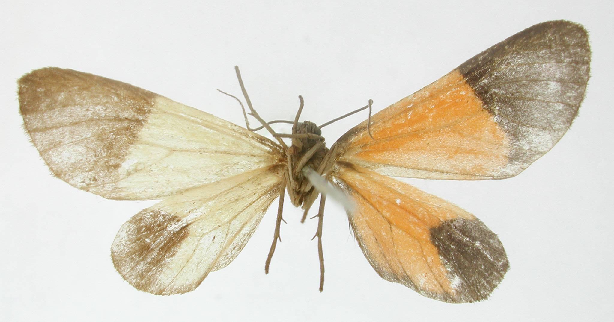 Image of <i>Eudule atrimorsa</i> Dognin 1902