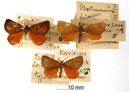 Image of <i>Eudule semirubra</i> Dognin 1902