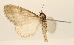 Image of <i>Graphidipus poba</i> Dognin 1898