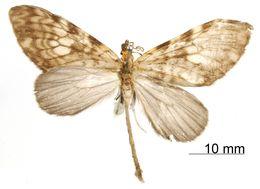 Image of <i>Graphidipus subcaesia</i> Dognin 1912