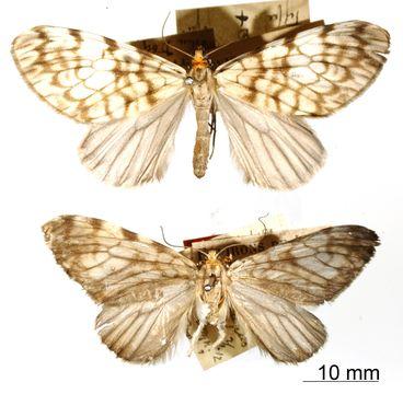 Image of <i>Graphidipus pilifera</i> Dognin 1912