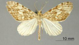 Image of <i>Graphidipus gorrion</i> Dognin 1893