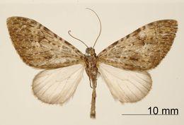Image of <i>Graphidipus subpisciata</i> Dognin 1903