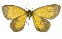Image of <i>Eudule cinctata</i> Dognin