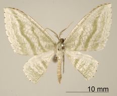 Image of <i>Dyspteris vecinaria</i> Schaus 1901