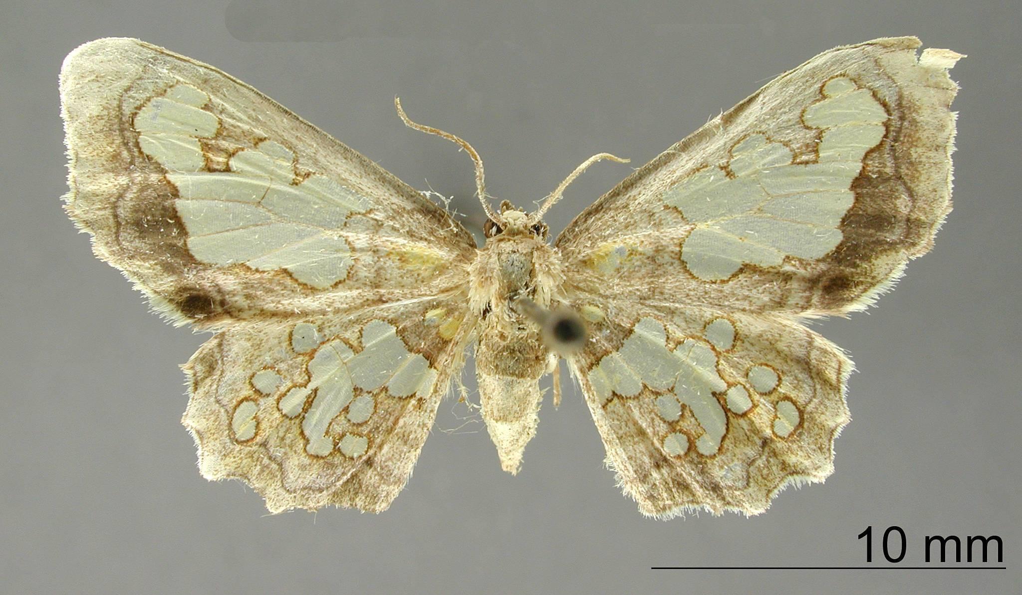 Image of <i>Pseudasellodes lacunata</i> Dognin 1906