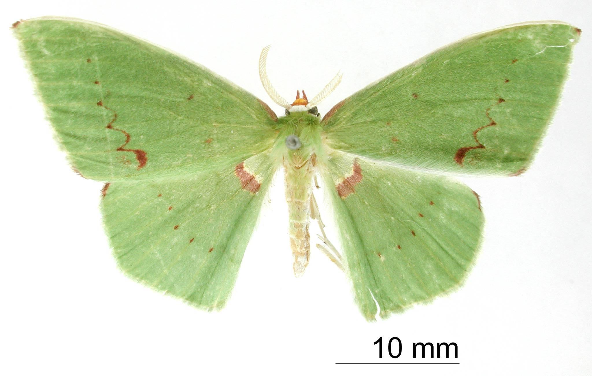 Image of <i>Rhodochlora roseipalpis</i> ssp. <i>basicostalis</i> Dognin