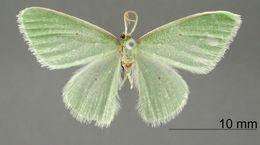 Image of <i>Geometra licada</i> Dognin