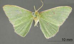 Image of <i>Geometra liriata</i> Dognin