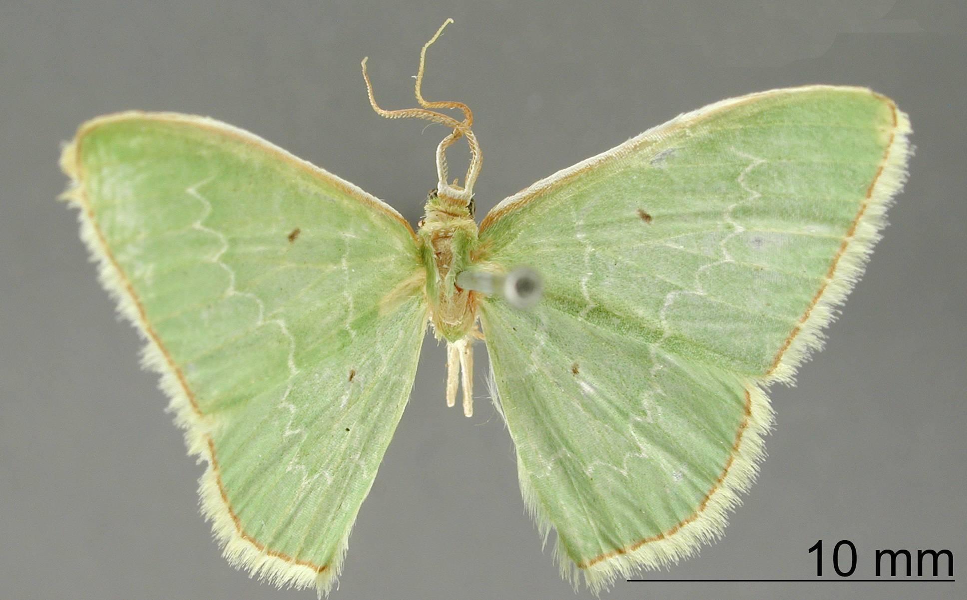 Image of <i>Geometra latuta</i> Dognin