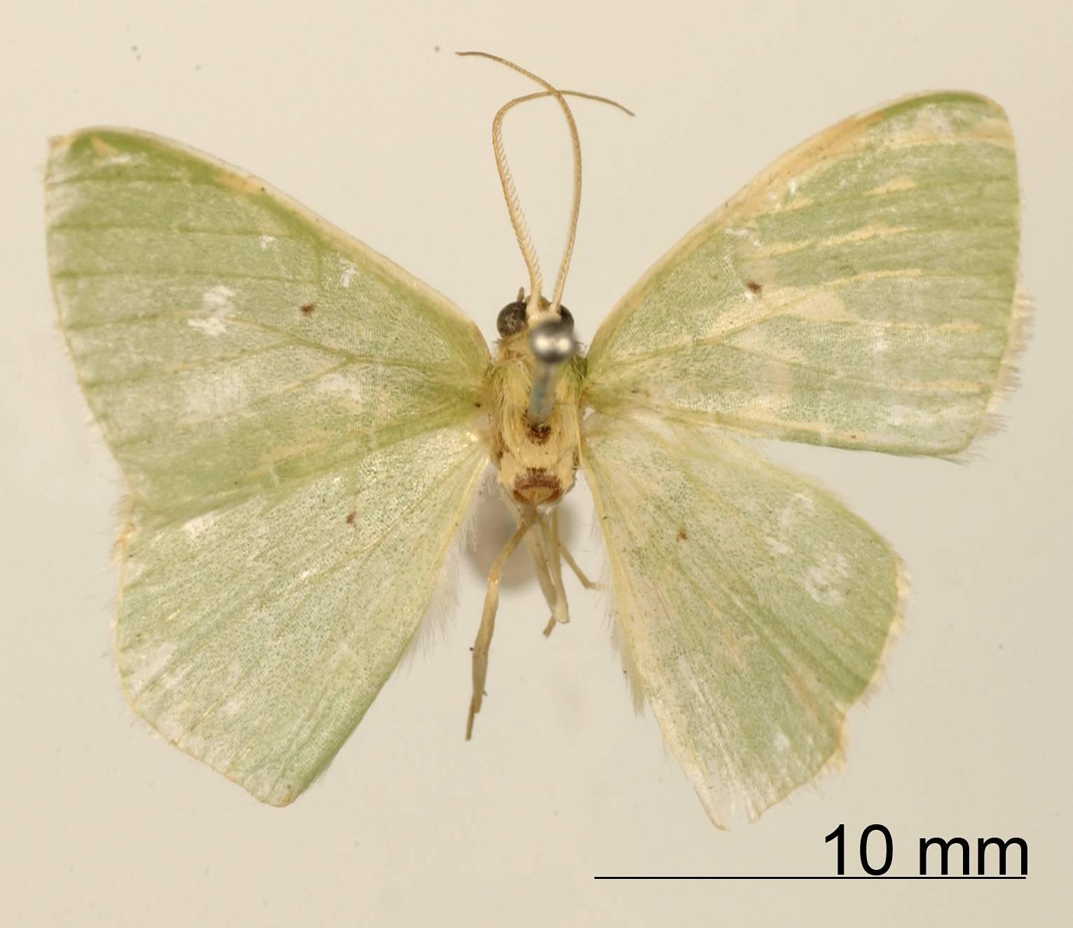 Image of <i>Geometra tutala</i> Dognin