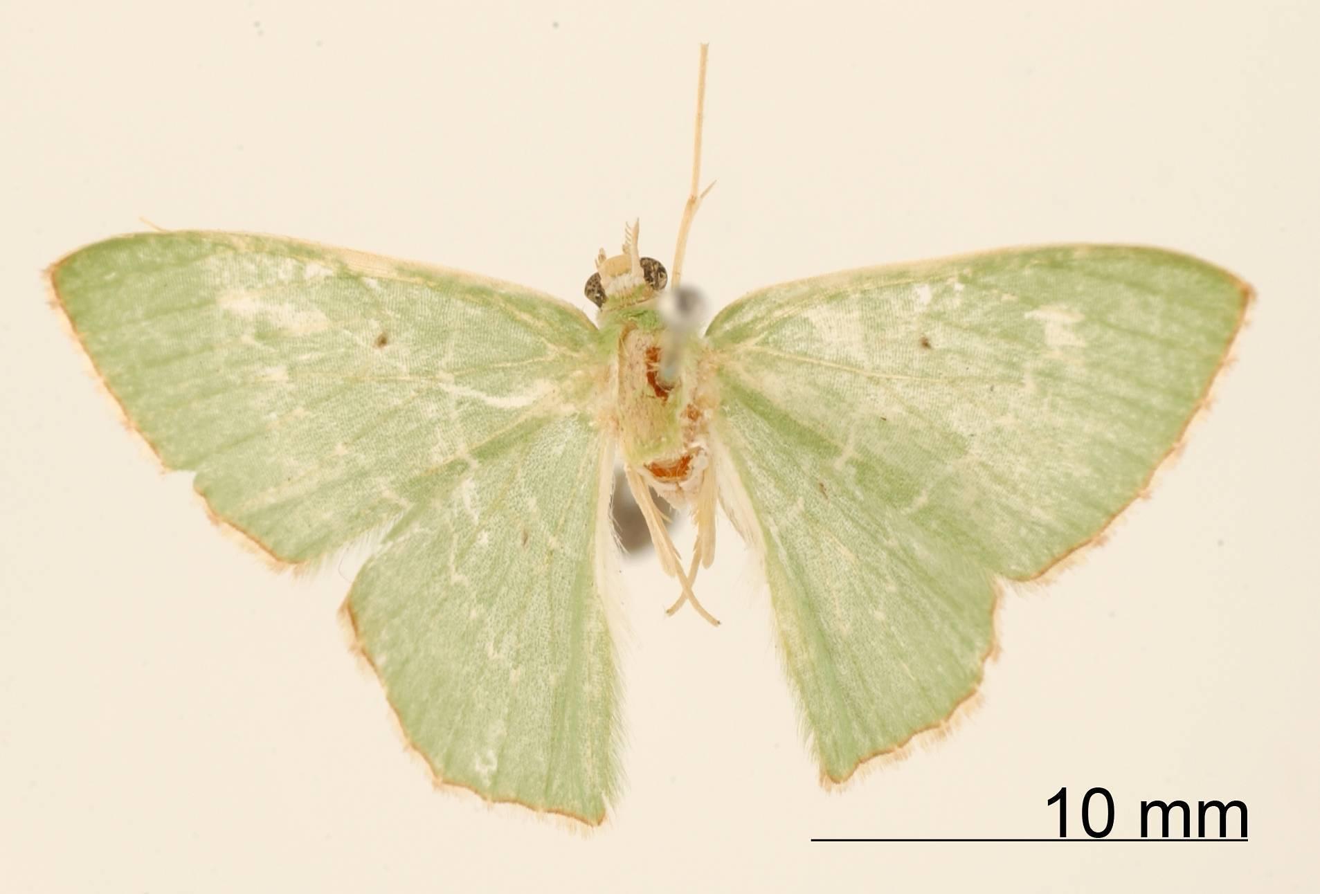 Image of <i>Geometra xaliria</i> Dognin