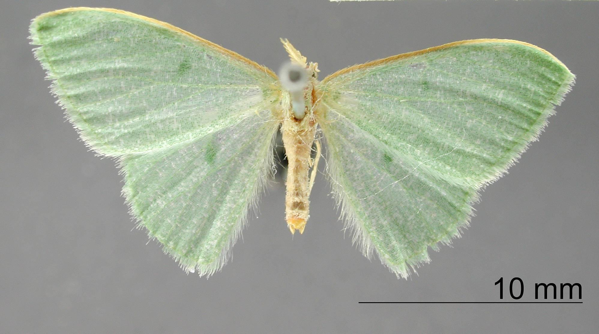 Image of <i>Geometra muscipunctata</i> Dognin