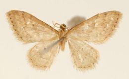 Image of <i>Emmiltis costipunctata</i> Dognin