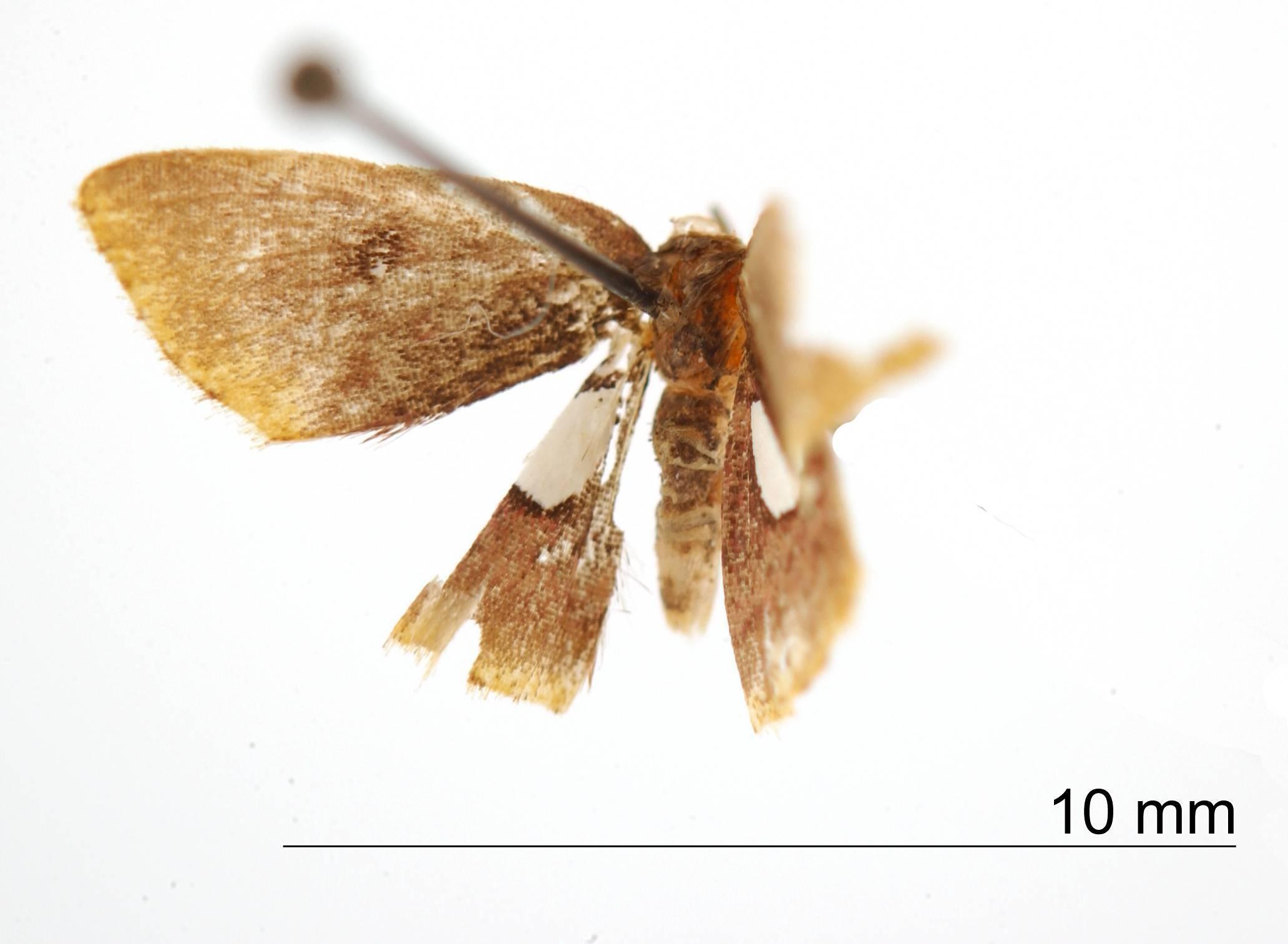Image of <i>Tricentra unimacula</i> Dognin 1911